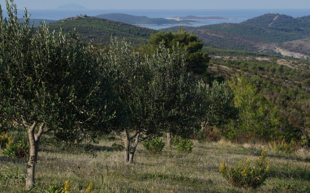 olive tree   ° song ° lyrics ° voice °